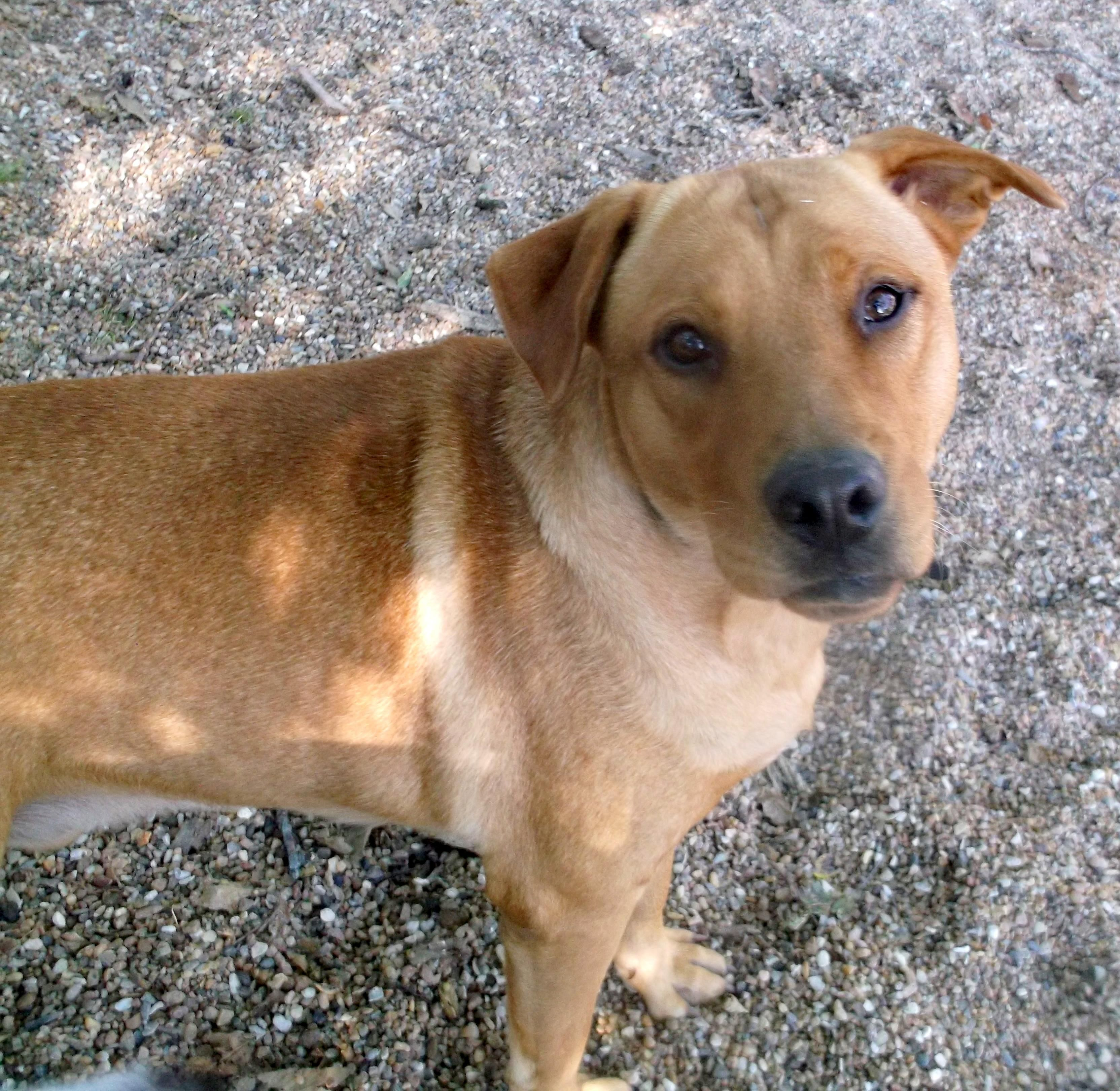 Adopt Sarge on Petfinder Dogs, Terrier dogs, Labrador