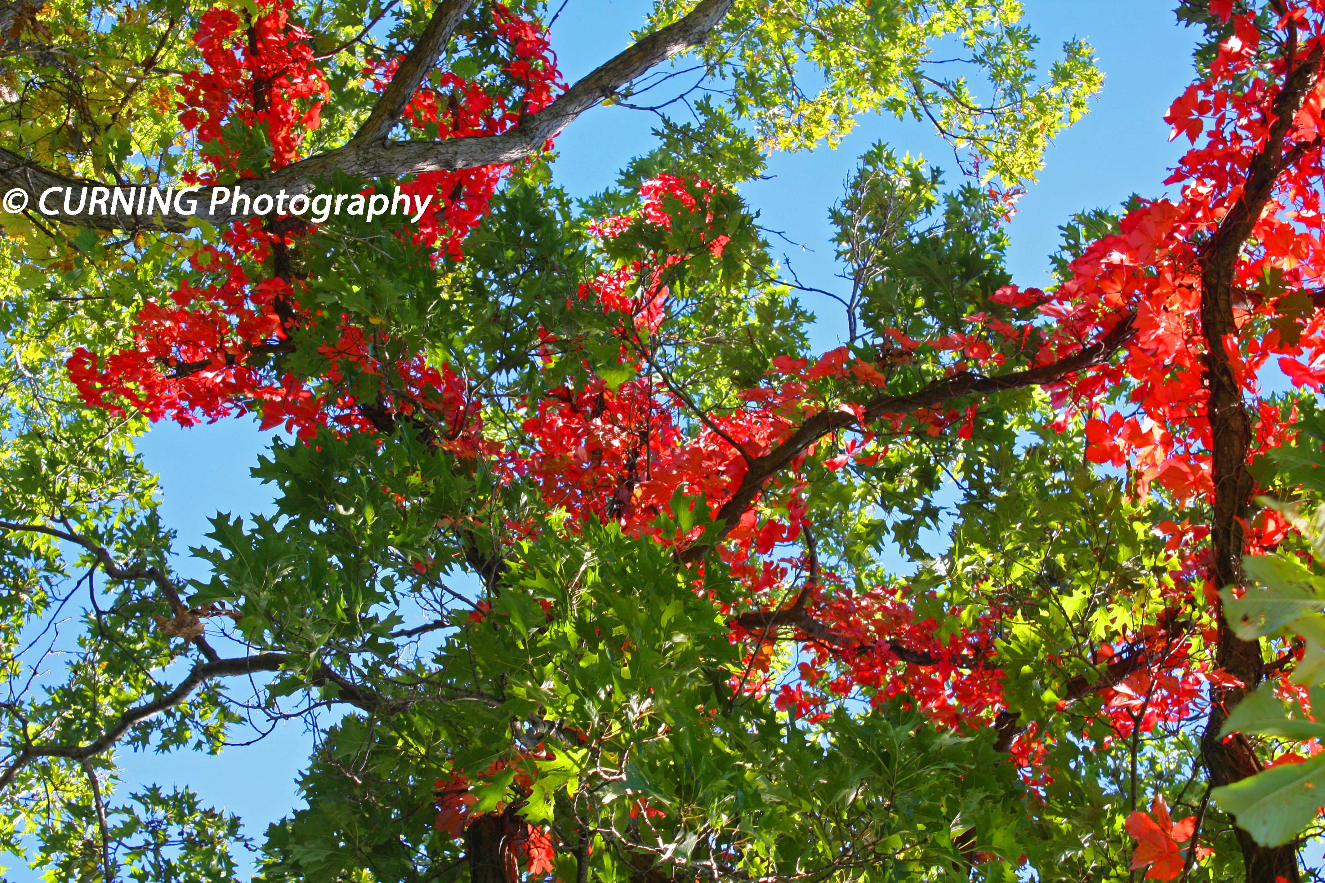 hooray my fav season fall is on it's way!🍂😍 www.CurningPhoto.com . . . . . #Nature_Enjoy #GoOutsideToday #naturelovers #earthfocus #earthofficial #splendidearth #xposuremag #worldshotz #canonusa #canon #canonphotography #photography #art #photograph #wallart #prints #lovetheoutdoors #gooutside #getoutdoors #enjoynature #outdoorexplorer #nature #mothernature #natureseekers #fall #autumn #fallleaves #redleaves #leaves #falltrees