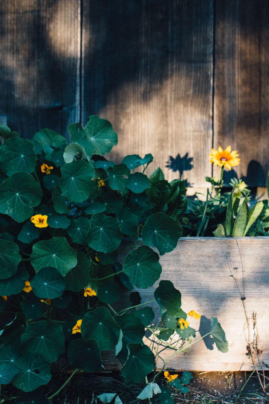 Organic Nasturtiums Garden Yard Ideas Sustainable Garden Flowering Trees