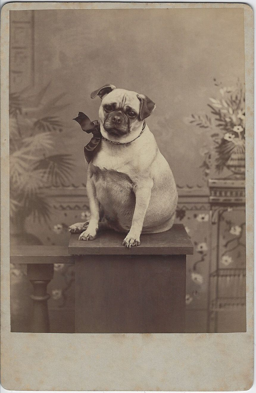 C 1880s Cabinet Card Of Pudgy Pug With A Huge Bow Sitting In