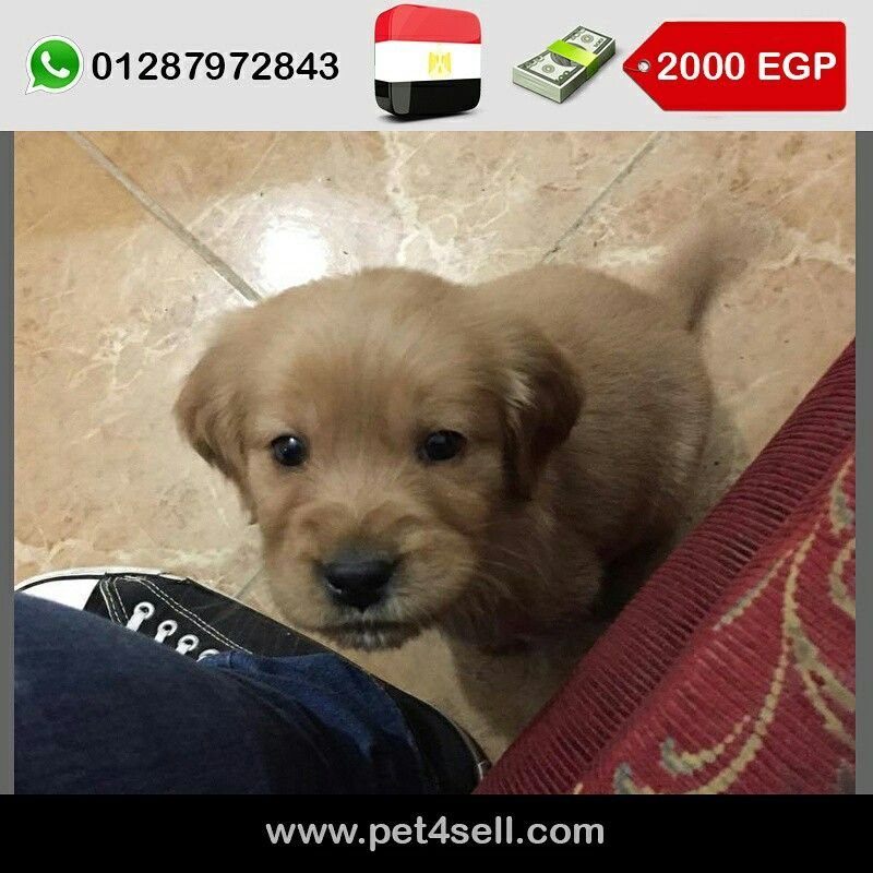 Egypt Giza Golden Puppy Male For Sale 50 Days 2000 Le 01147702207