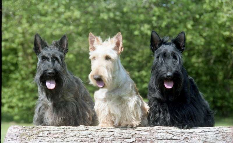 The Scottie Is A Small Affectionate Loyal Purebred Originating From The U K These Dogs Hardly She 3scot Friendly Dog Breeds Dog Breeds Cute Small Dogs