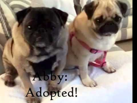 Pugs Available For Adoption Through Pug Rescue Of New England