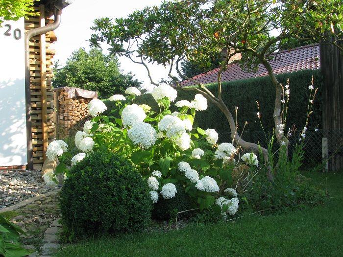 Vorgarten mit hydrangea annabell hortensie 1 hortensien for Hortensien garten anlegen