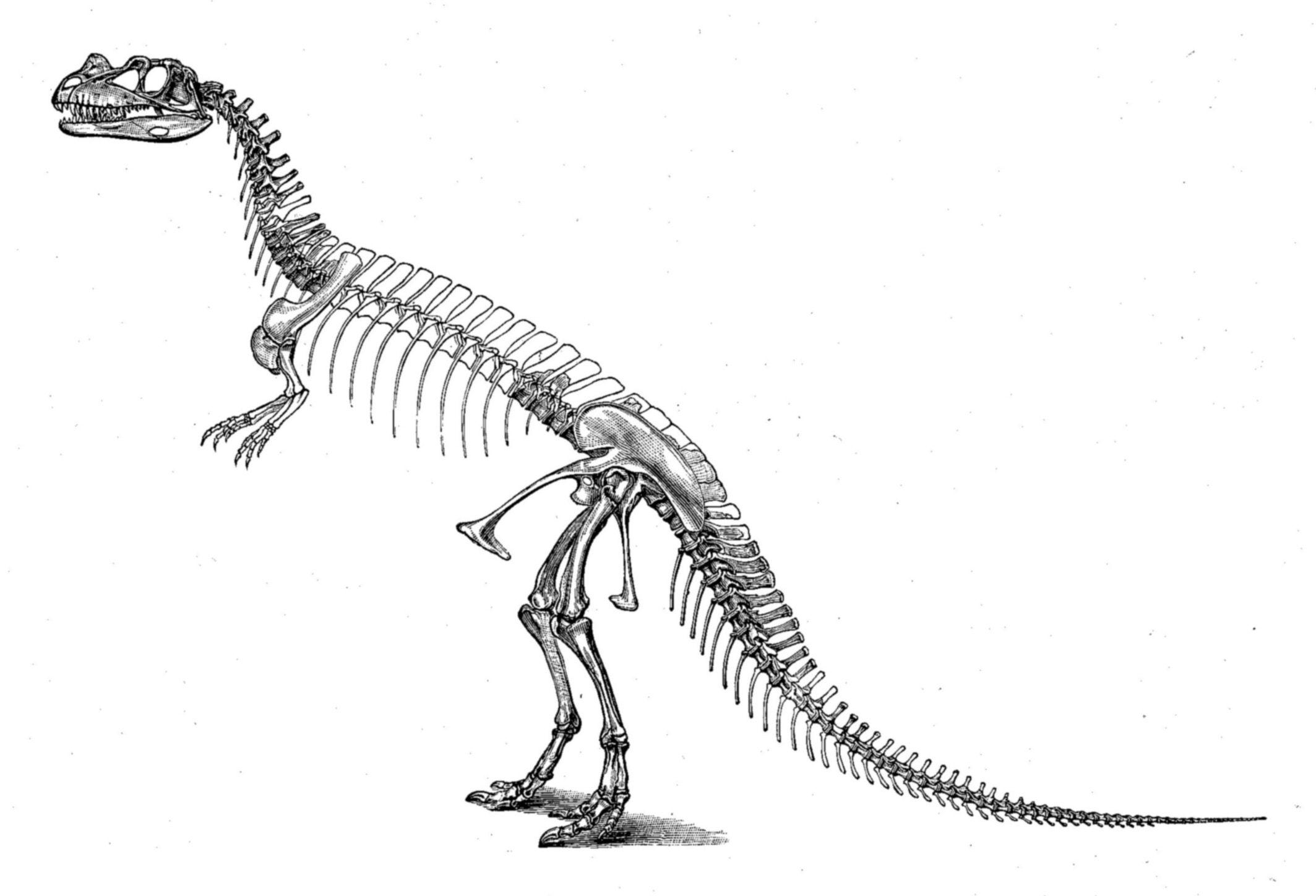 CeratosaurusSkeleton.jpg (2127×1448) - Dinosauria, Saurischia ...