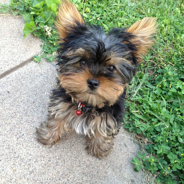 Baby Tea cup yorkie. Can't wait to get mine