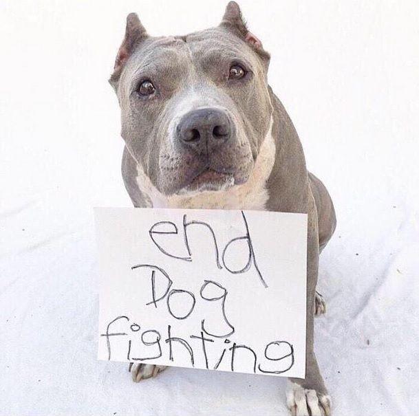 Cutest activist ever Dog fighting, Dogs, Pitbulls