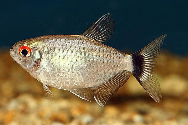 Pics Photos Head Tail Light Tetra Hemigrammus Ocellifer Tetra