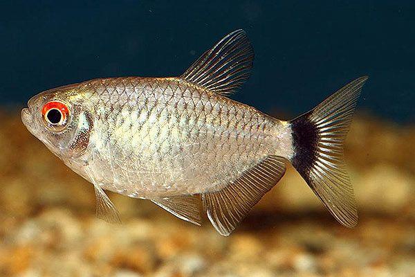 Pics Photos Head Tail Light Tetra Hemigrammus Ocellifer Tetra Fish Pet Pics
