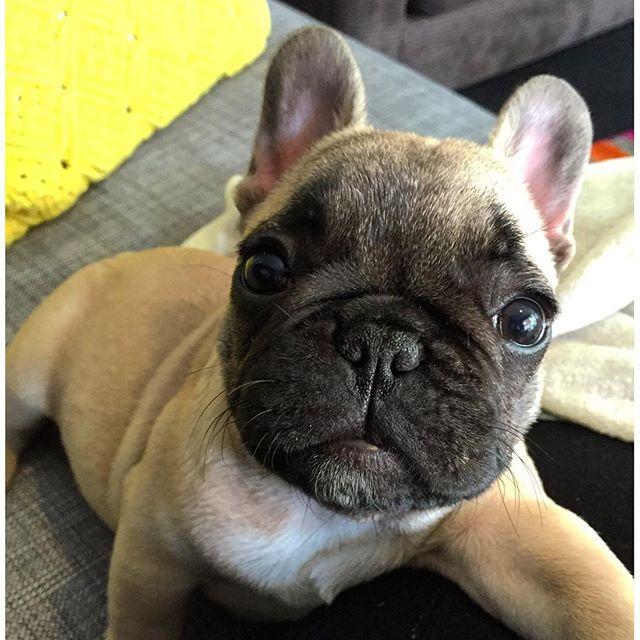My First Selfie French Bulldog Puppy Animais French Bulldog Cute Puppy Pictures Funny Puppy Pictures