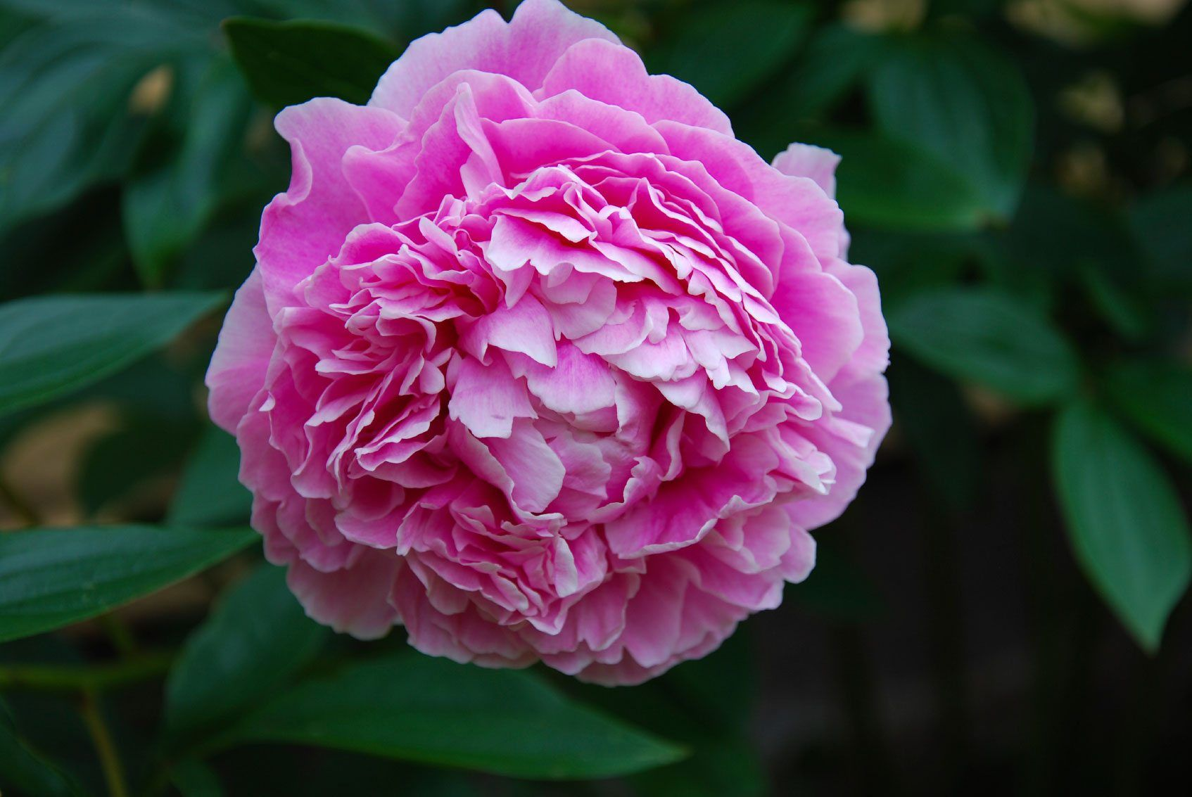 Peony Flowers Are Large Showy And Sometimes Fragrant Making Them An Essential In The Sunny Flower Garden Foliage Peony Care Planting Peonies Growing Peonies