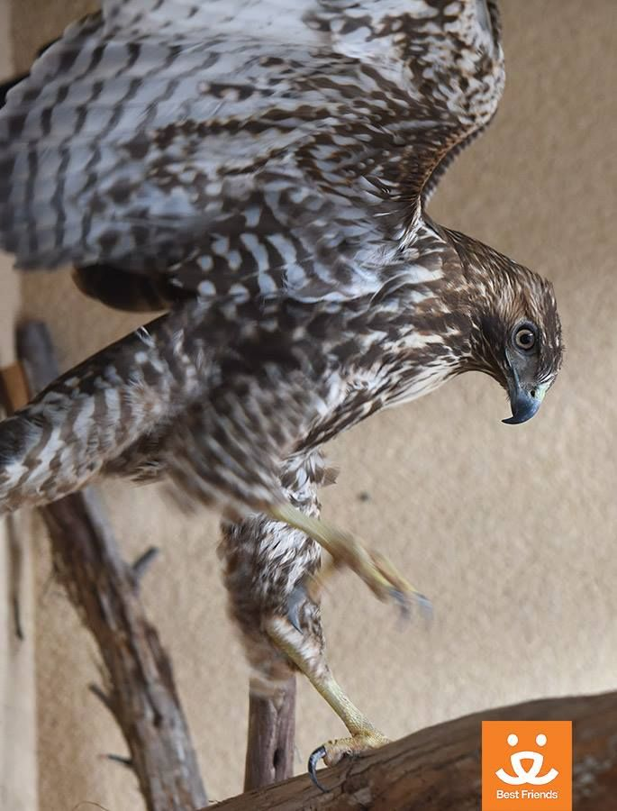 This red-tailed hawk is being rehabilitated at Wild Friends. Learn more by clicking through. Photo by Molly Wald