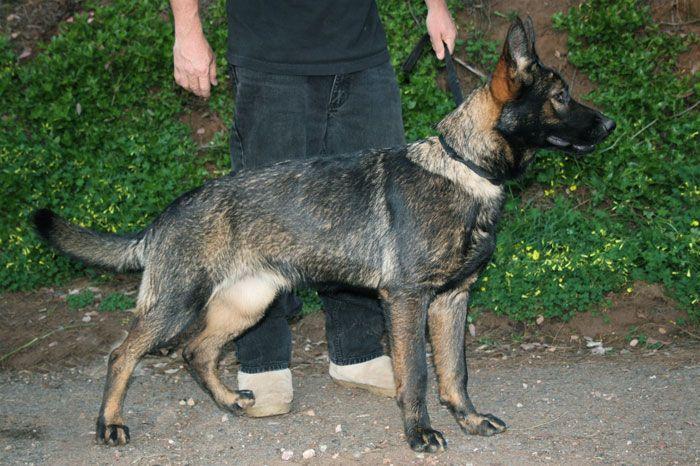 Misty Female Black Sable German Shepherd Ddr German Shepherd German Sheperd Dogs Black Sable German Shepherd