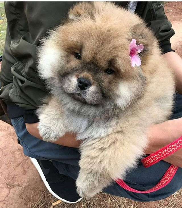 Pin On Chow Chow Puppies