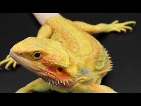 How To Clear Impaction Impacted Bearded Dragon Lizard Reptile Constipation