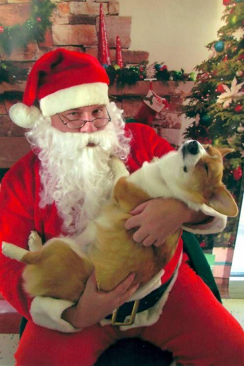What exactly did this corgi ask Santa for? | Corgis at ...