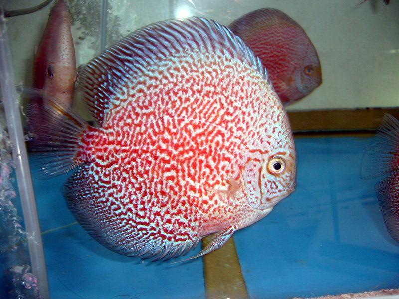 White Tiger Pigeon Blood Discus Fish Freshwater And Aquarium Aquario