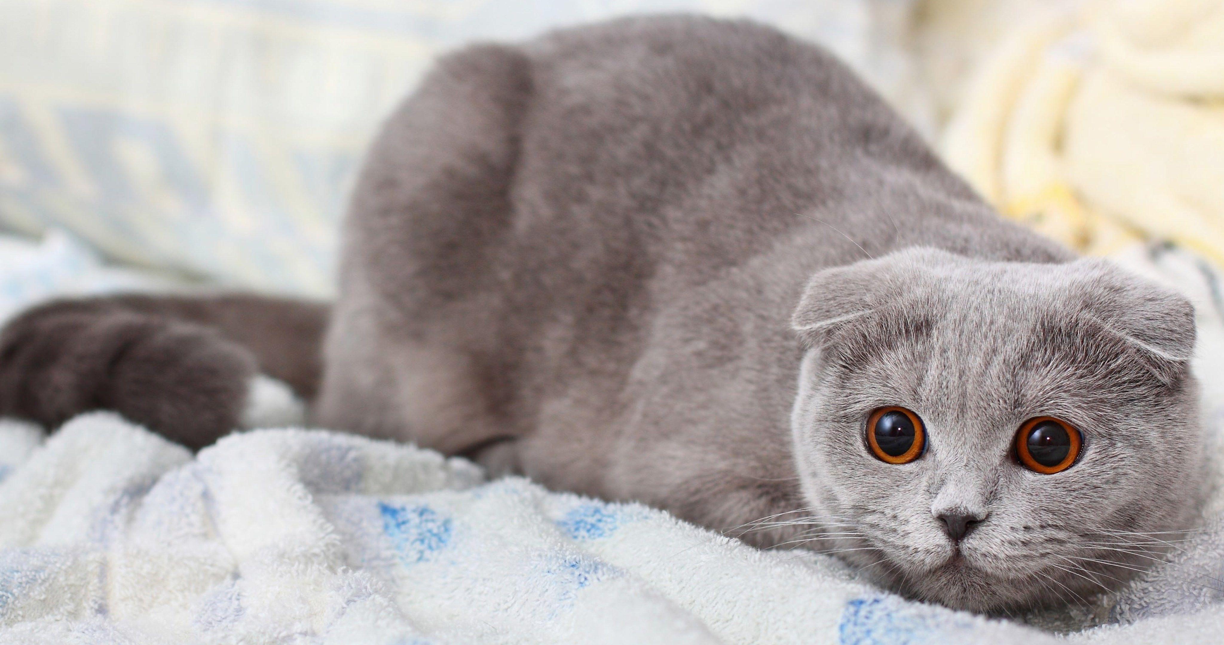Cat Scottish Fold 4k Ultra Hd Wallpaper Cat Wallpaper Cat
