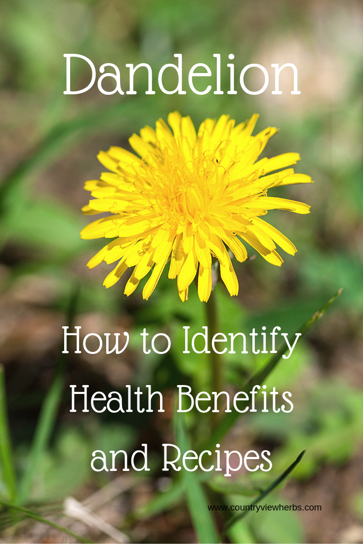 Dandelion Identification Benefits And Uses Country View Herbs Dandelion Plant Identification Dandelion Plant