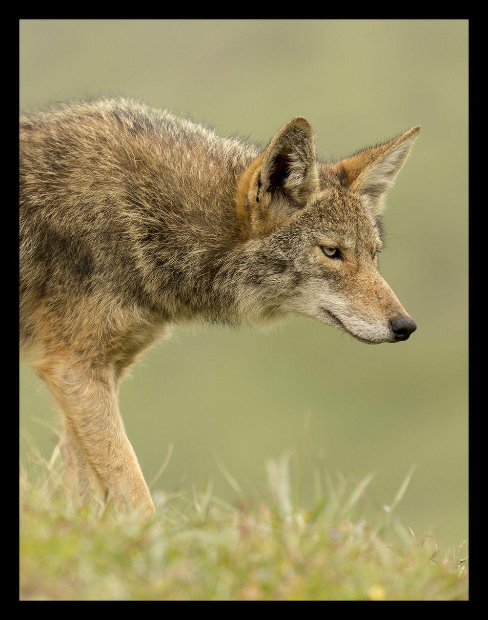 Coyote - PointReyes