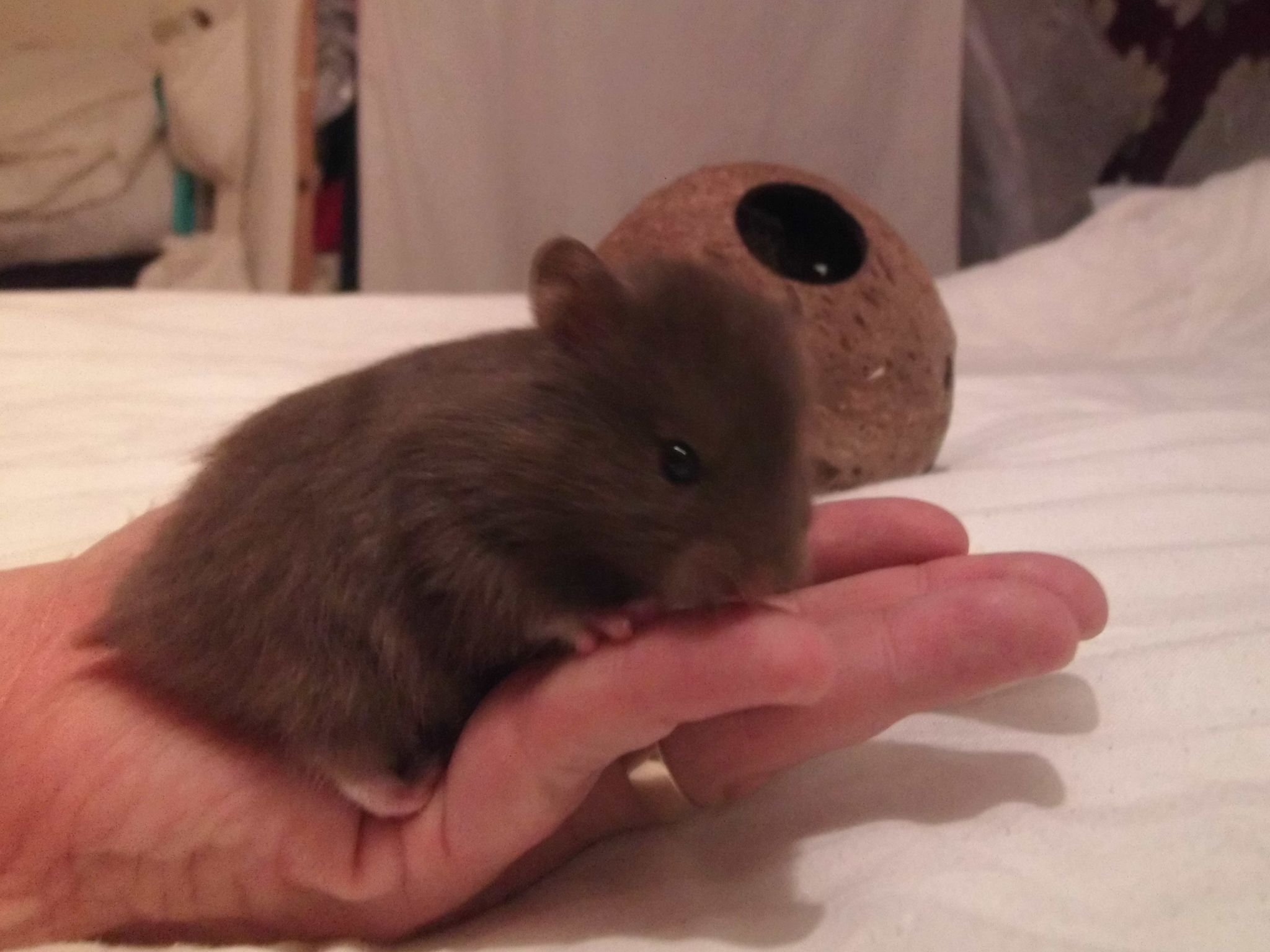Cutest Photo Chocolate Long Haired Satin Baby Boy Hamster Age 3