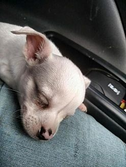 Chihuahua Puppy For Adoption In Woodsfield Ohio Snowden Deaf