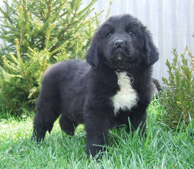 Newfoundland Puppy Newfies Are Adorable Newfoundland Puppies Puppies Newfoundland Dog
