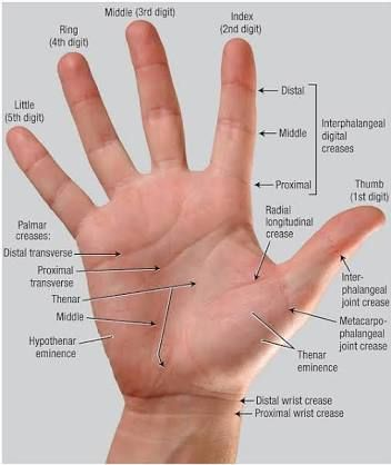 Image result for surface anatomy palm hand thenar eminence | Anatomy ...