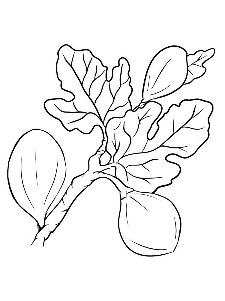 Fig Coloring Image Free