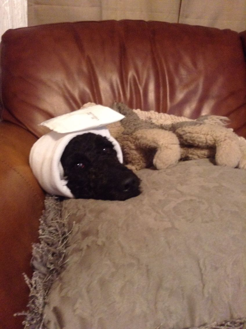 My dog just got out of surgery
