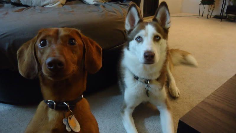 Dakota And His Husky Friend Cali Dachshund Mix Dachshund