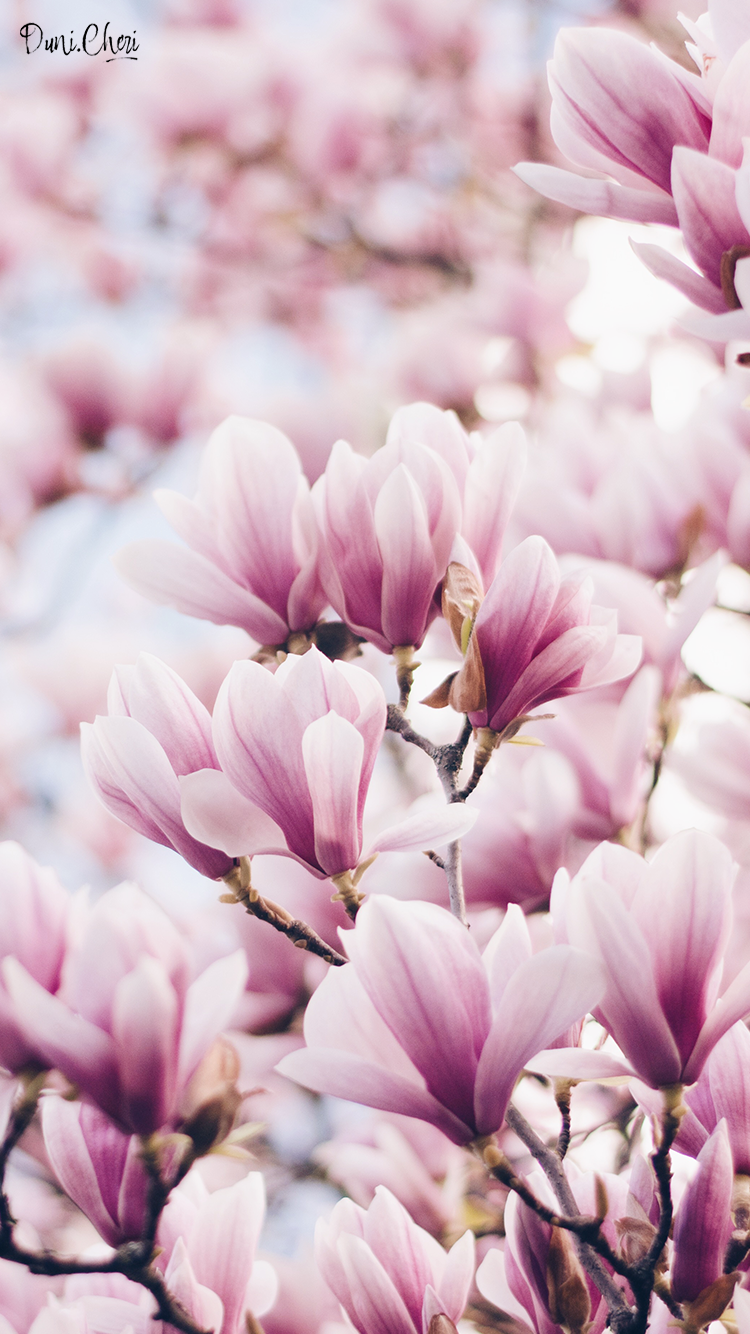 magnolia wallpaper pink mobile Wallpaper iphone pastell