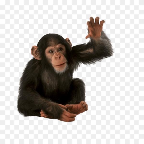 Baby Chimpanzee Png Monkey Png 600 600 Png Download Free Transparent Background Baby Chimpanzee Png Png Download Baby Chimpanzee Chimpanzee Animal Icon