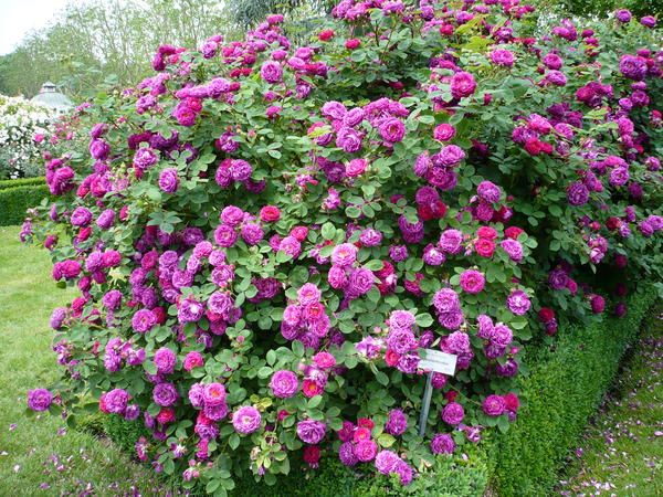 very fragrant shrub rose 39 chartreuse de parme 39 with deep pink 39 leonardo da vinci 39 roses. Black Bedroom Furniture Sets. Home Design Ideas