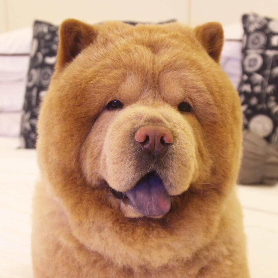 Chowder the bear dog a chowchow from the philippines photo