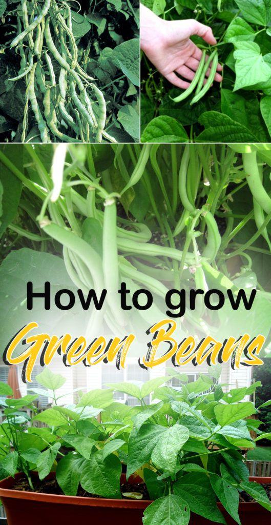 Growing French Beans Growing Green Beans Bean Garden 400 x 300