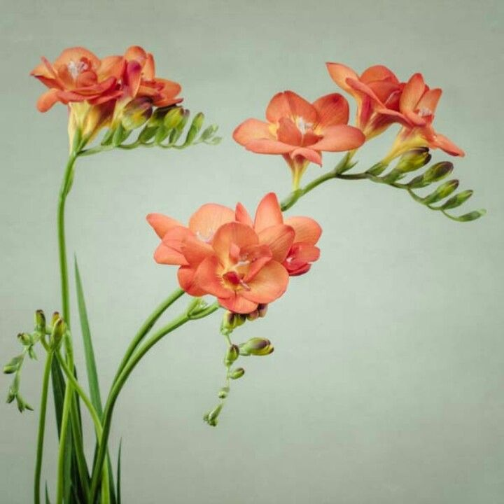 Fresia Freesia Flowers Fresia Flower Flower Drawing