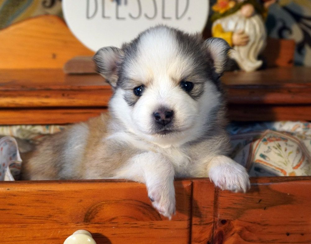 Mini Pomsky Puppies For Sale In California Ideas