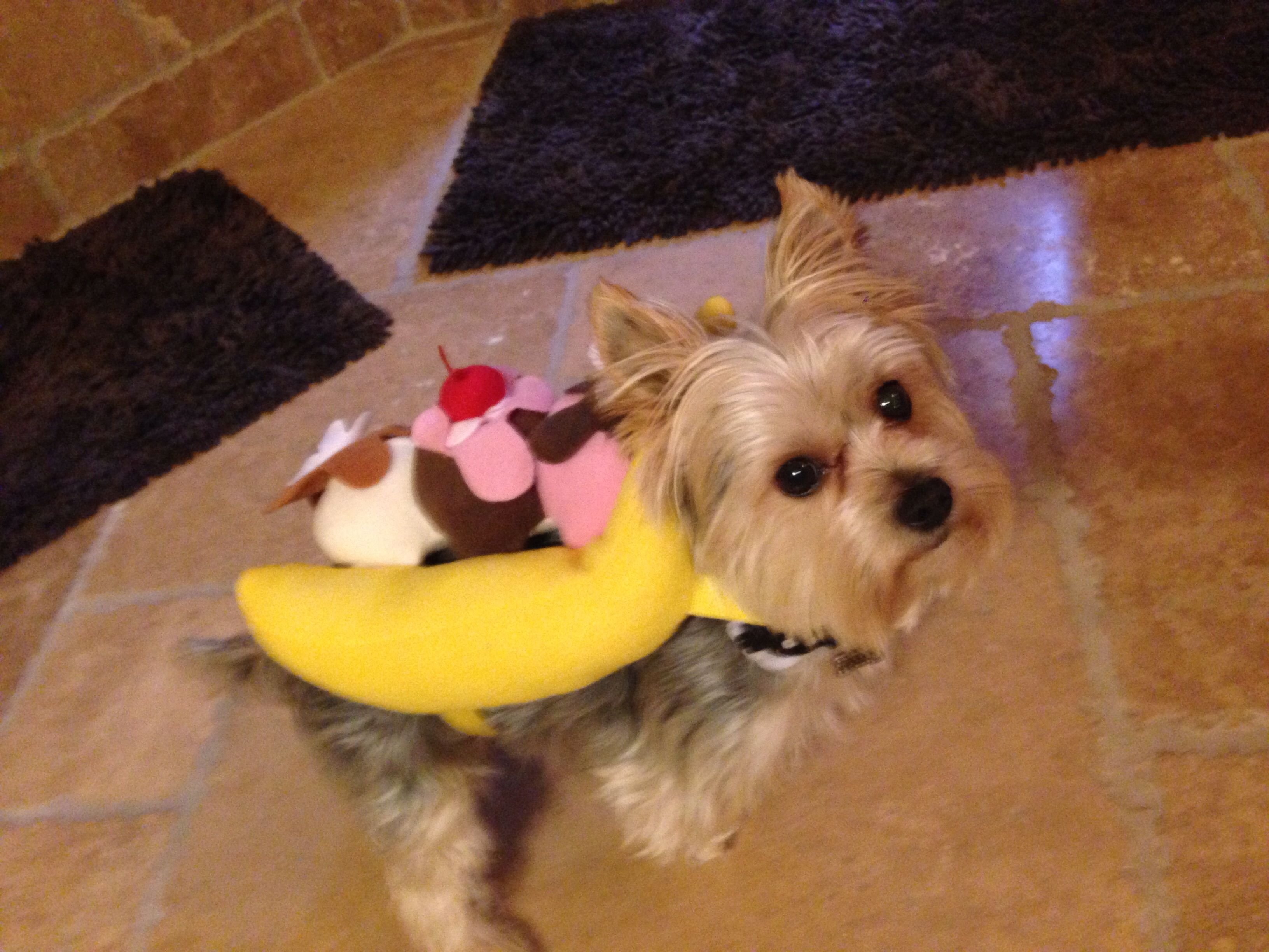 Morkie Dog Banana Split Sundae Costume Banana Split Costumes
