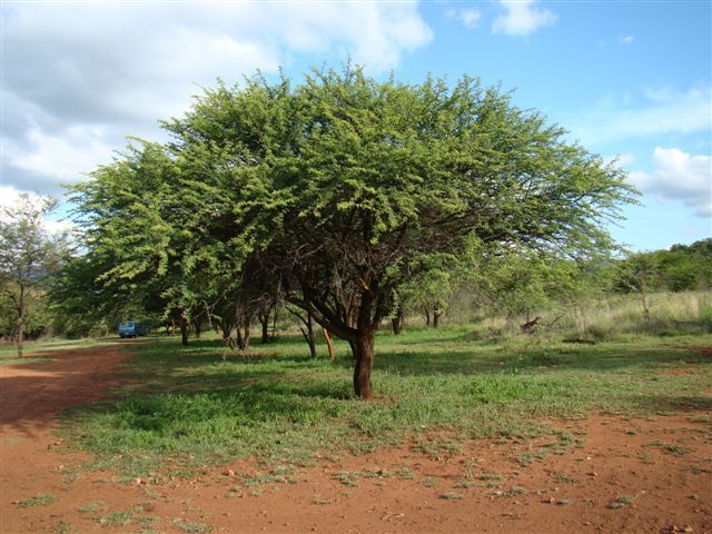 Vachellia Acacia Nilotica Scented Thorn Is A Species Of Acacia Native To Africa The Middle East And The African Plants Weeping Trees Tree Identification