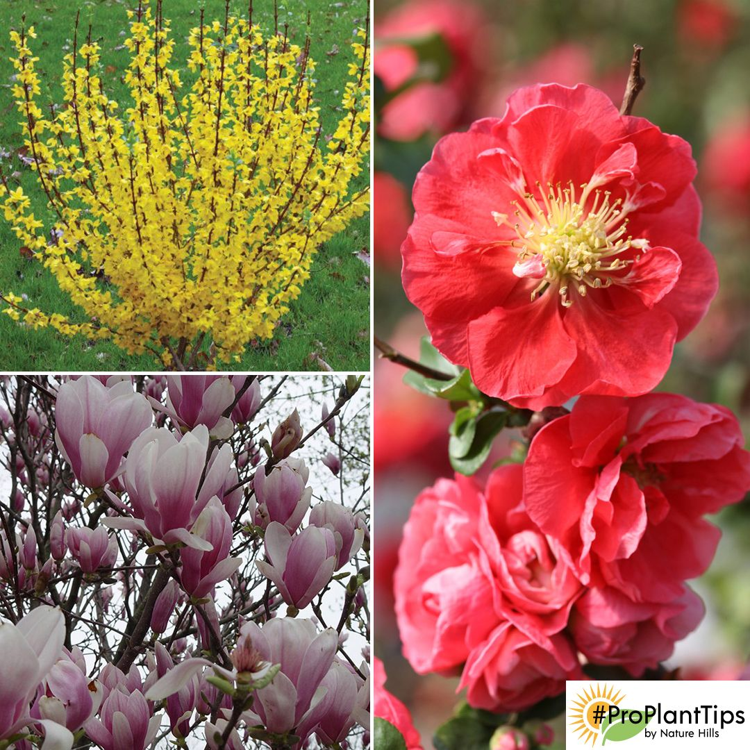 As Your Spring Flowering Shrubs Quince Forsythia Rhododendrons