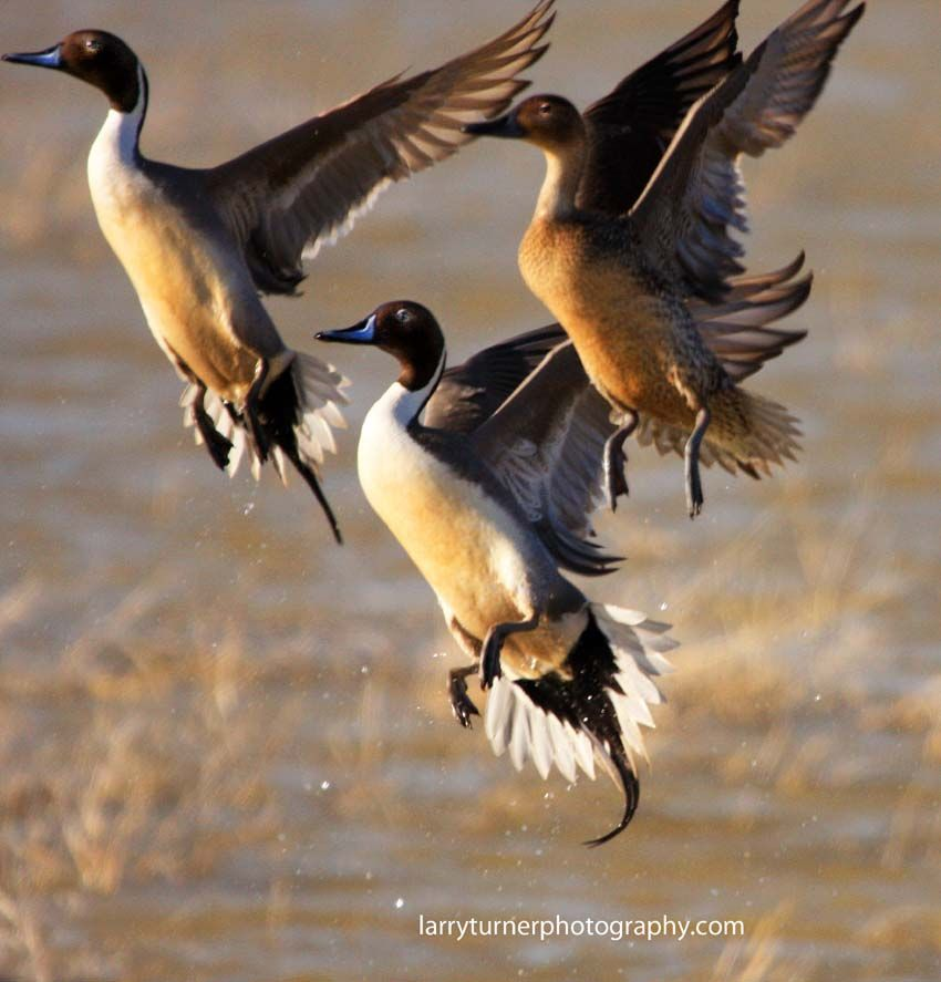 Does anyone have a guess as to which species these waterfowls are?