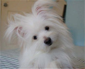 The Pomeranian Maltese Mix Maltipom All Grown Up At 1 Year Old