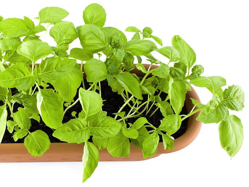 Zabudnite navždy na lieky na cholesterol! Táto bylinka najlepšie vyčistí vaše cievy a vyrieši problém s cholesterolom.
