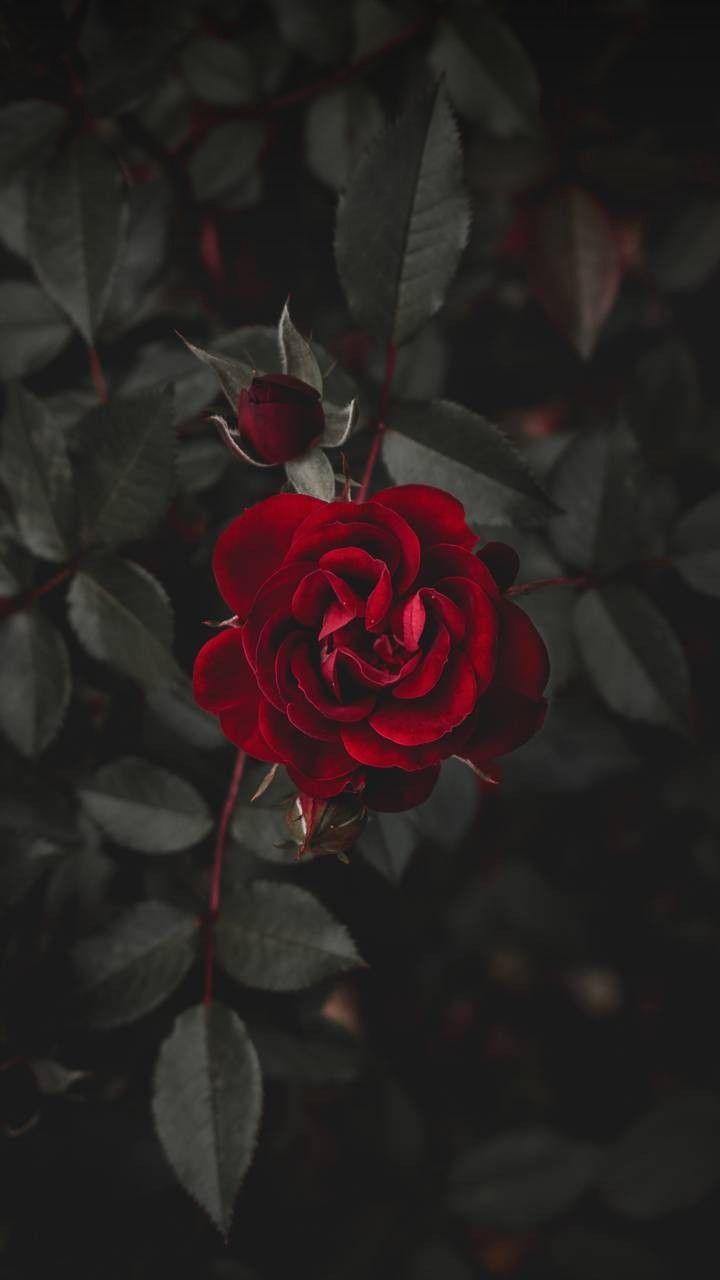 Rosen Rot Red Fondos Tumblr Pinterest Fondos Fondos De