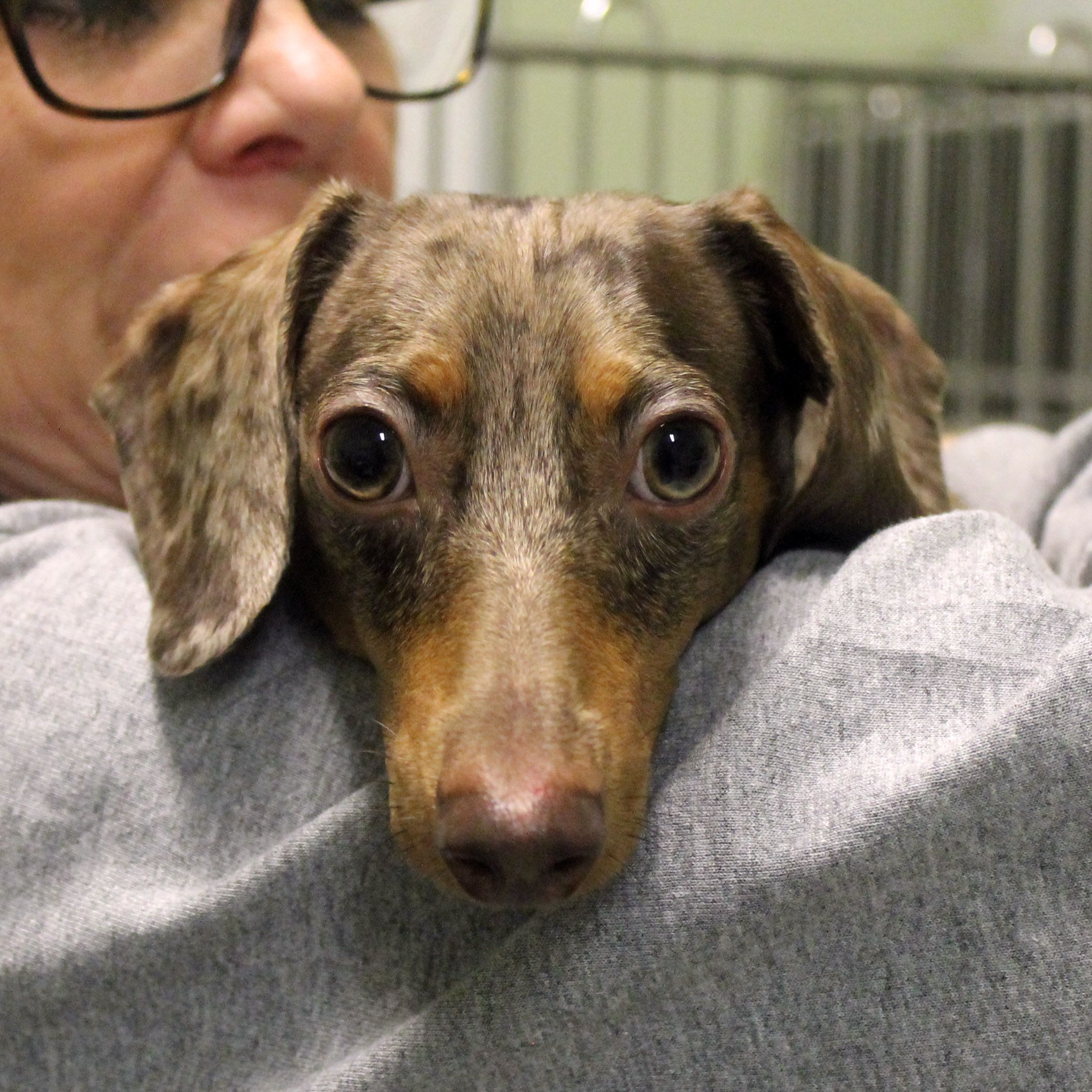 Dachshund Dog For Adoption In Waco Tx Adn 438680 On Puppyfinder