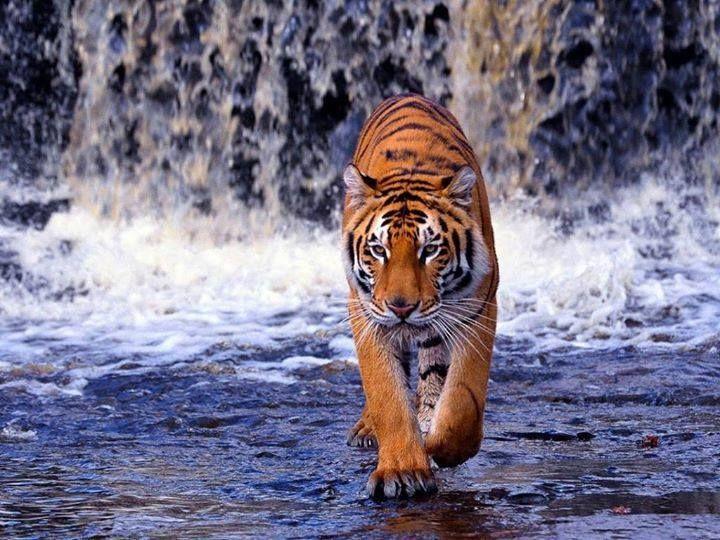 Tiger Pictures Tiger Images Tiger Wallpaper Wallpaper full hd bengala wallpaper