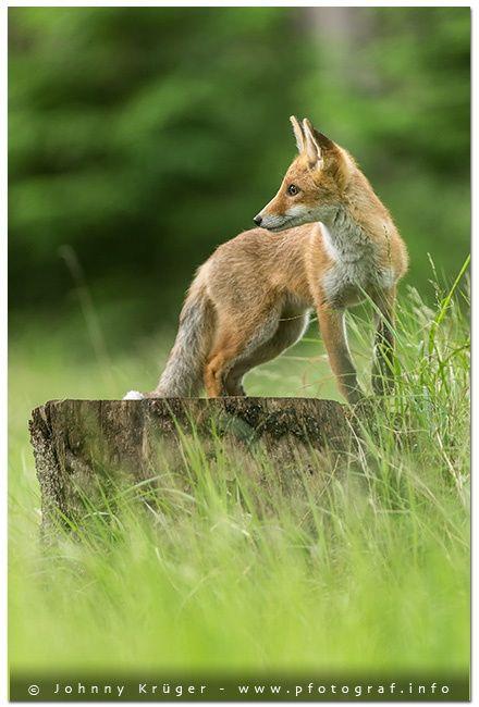 Red Fox Cub by Johnny Krüger on 500px