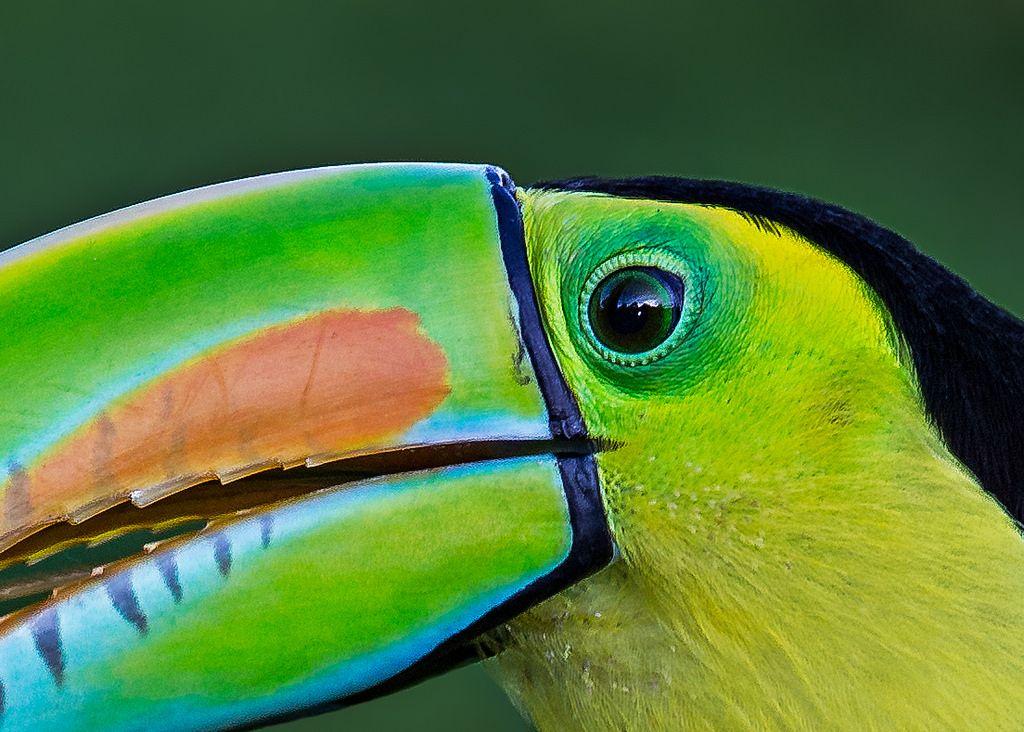 Toucan Eye Detail