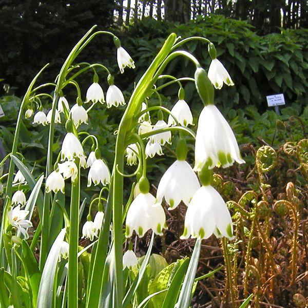 Knotenblume 30 Stück 23,90,  feuchten, frischen Boden und Schatten oder Halbschatten, 50 cm hoch, blüht April Mai, Versand September